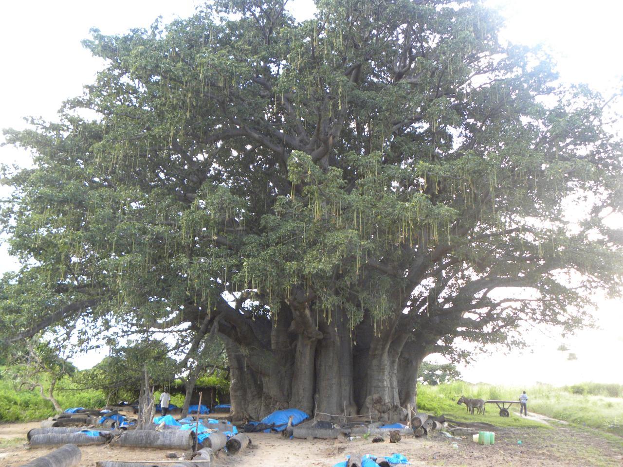 Baobab et commerces